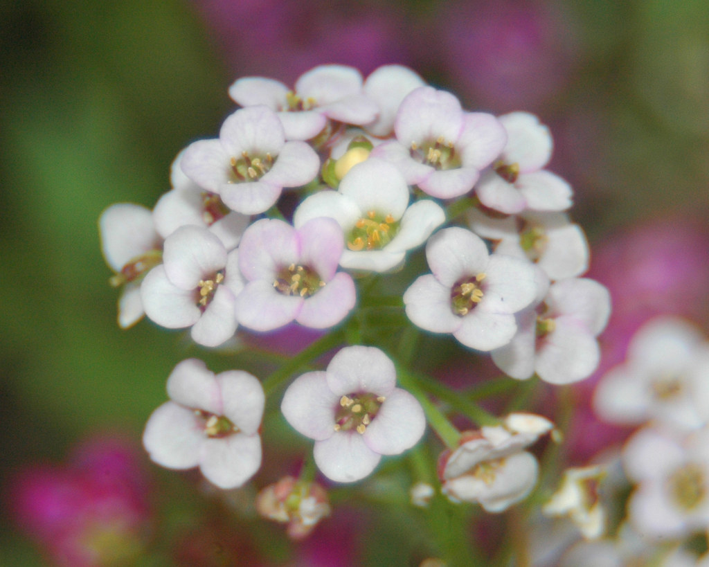 Alyssum flower alyssum flower alyssum flower mightylinksfo