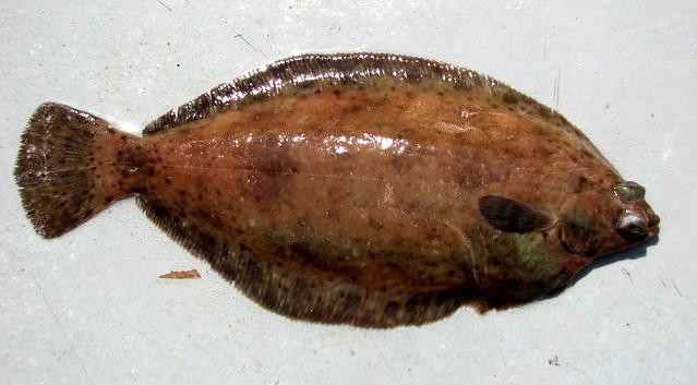Dover sole microstomus pacificus flickr photo sharing for Dover sole fish