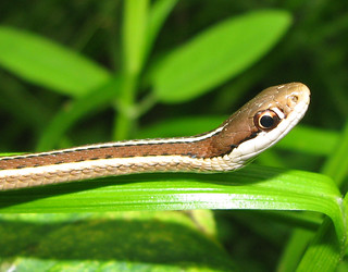 Young Ribbon snake