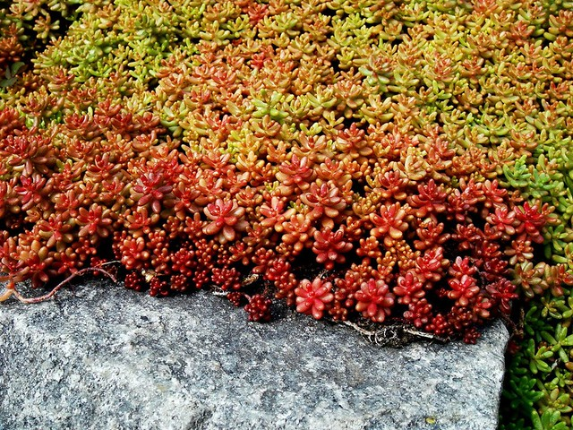 Crassulaceae sedum album 39 coral carpet 39 2 flickr photo sharing - Sedum album coral carpet ...