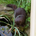 Small photo of American mink