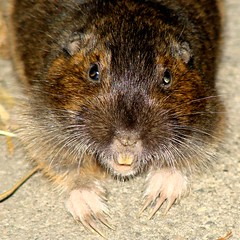 animal, rat, rodent, mouse, fauna, muskrat, close-up, whiskers, wildlife,