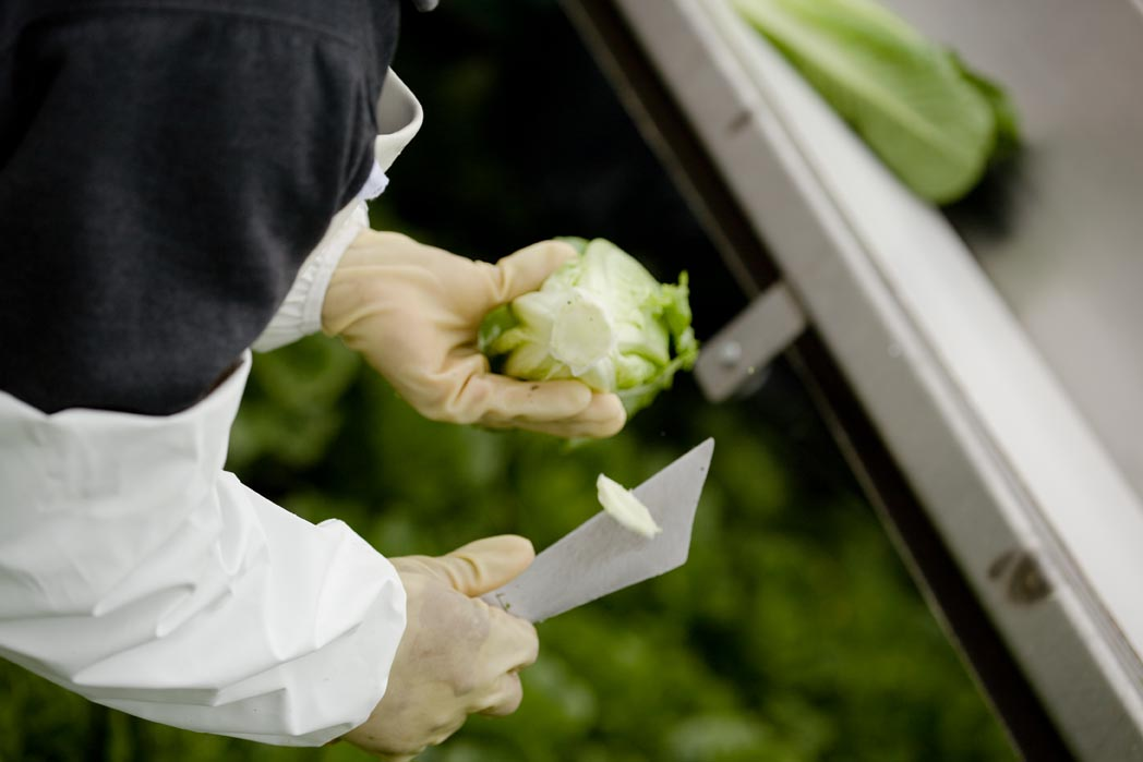 Worker cutting lettuce