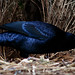 Satin bowerbird by Yorrick from Oz