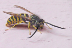 Yellow jacket