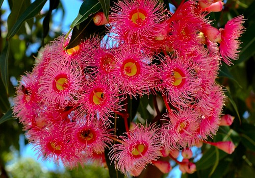 Corymbia ficifolia - Pink Flowering Gum