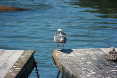 Sea Gull @ Pier 39