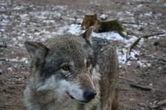 grey fox(0.0), animal(1.0), canis lupus tundrarum(1.0), czechoslovakian wolfdog(1.0), gray wolf(1.0), red wolf(1.0), mammal(1.0), fauna(1.0), wolfdog(1.0), saarloos wolfdog(1.0), coyote(1.0), wildlife(1.0),