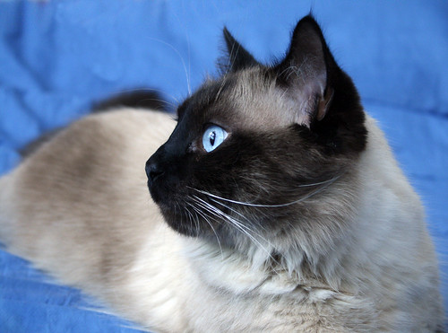 My handsome Siamese boy by Megan Conlin (organicpixel)