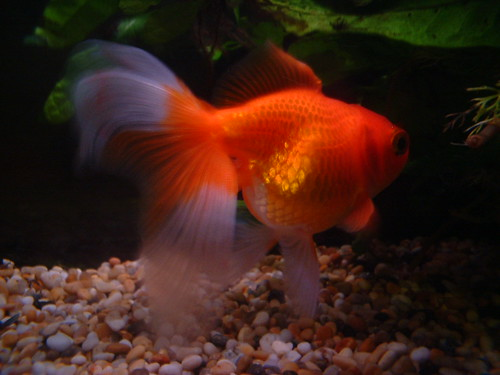 Dave The Goldfish