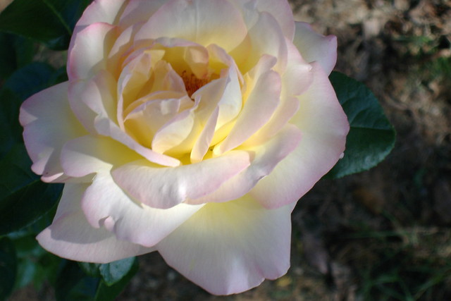 Yellow rose with pink tips | Flickr - Photo Sharing!