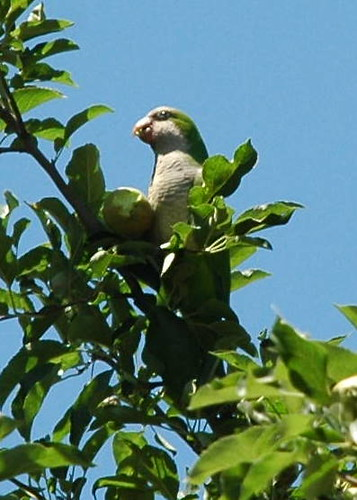 Monk Parakeet Munching on Young Apples
