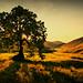 Glendevon Tree by C Thomson