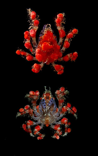 Strawberry crab (Pelia mutica), Honduras