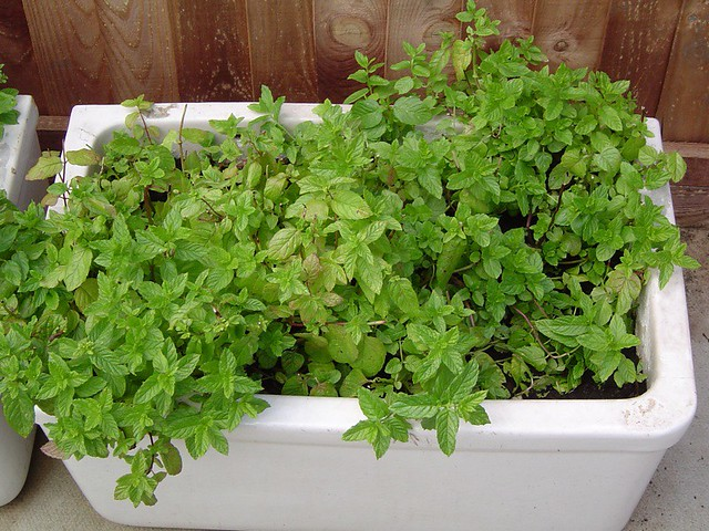 Container herbs: Mint
