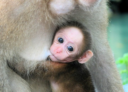 Baby monkey nursing