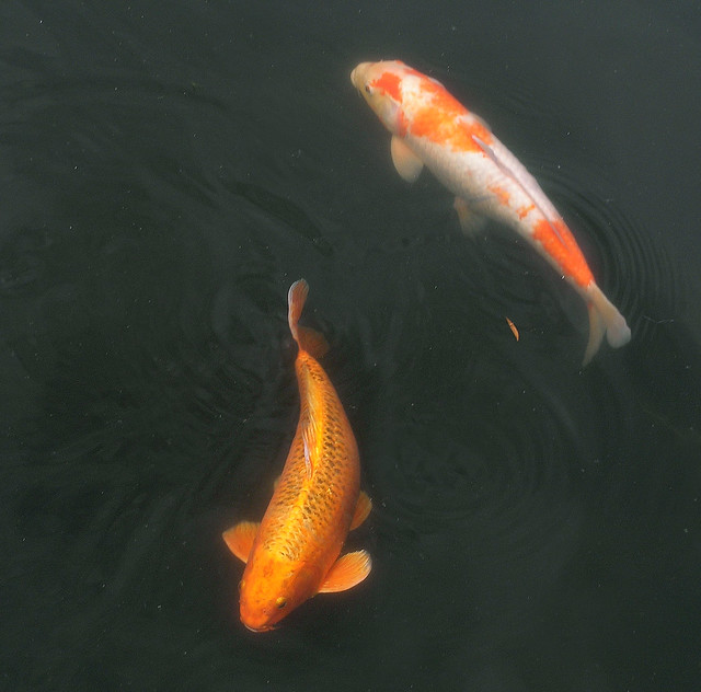 Koi fish flickr photo sharing for Koi fish color meaning
