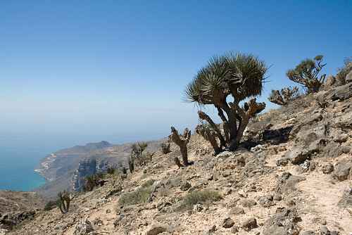 Yemen Dragon Tree (Dracaena serrulata)