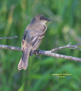 Eastern Phoebe by George W. Bowles Sr