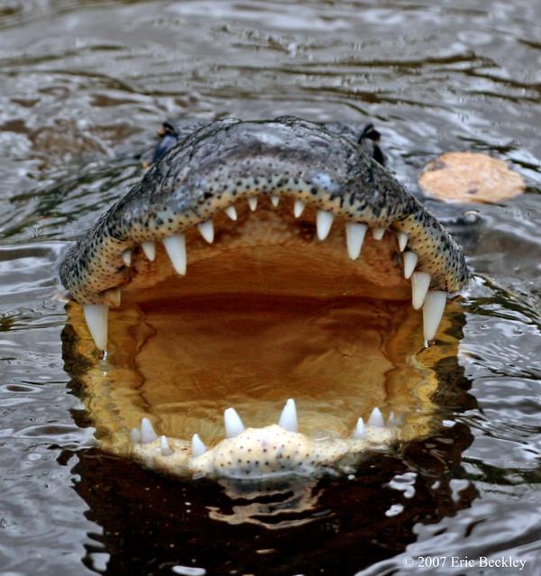 Alligators Mouth 33