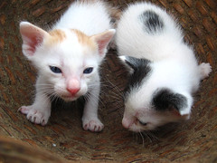 animal, turkish van, kitten, small to medium-sized cats, pet, mammal, european shorthair, cat, whiskers, domestic short-haired cat,