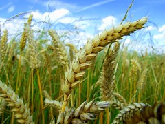 emmer, hordeum, agriculture, triticale, einkorn wheat, rye, food grain, field, barley, wheat, plant, crop, cereal, plant stem,