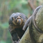 White-faced Saki (female) #3