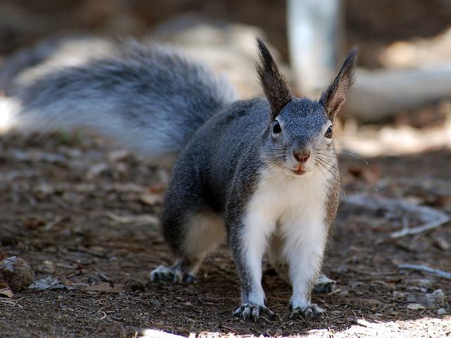 Foraging Abert's Squirrel | Flickr - Photo Sharing!