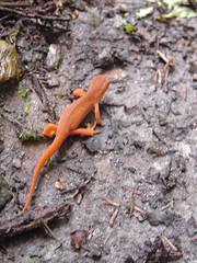 animal, amphibian, newt, salamander, reptile, lizard, fauna, lacertidae, wildlife,