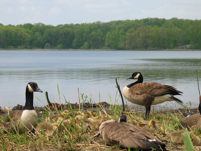 Mendon Geese