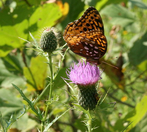 Fritillary (Speyeria sp.) butterfly on thistle