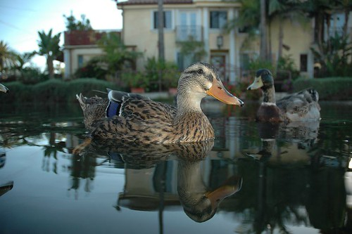 Ducks on the Venice Canals, Venice California