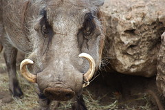 animal, horn, head, fauna, close-up, pig-like mammal, warthog, wildlife,