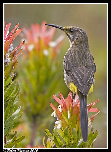 Cape Sugarbird (female)