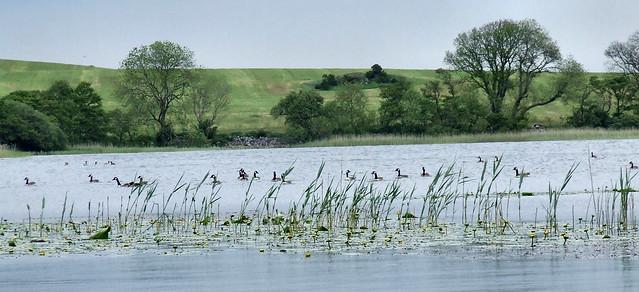 Canada geese on Loch Kindar (2)