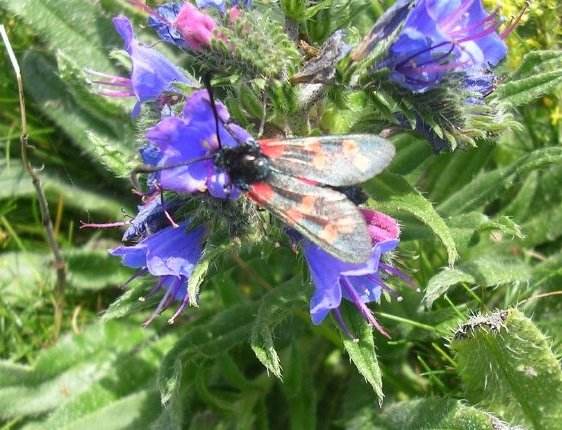 Burnet moth on Viper's Bugloss
