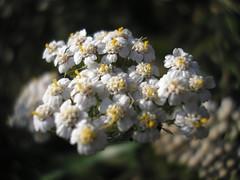 Achillea millefolia