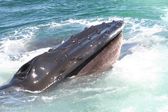 animal, marine mammal, marine biology, whales, dolphins, and porpoises, humpback whale,