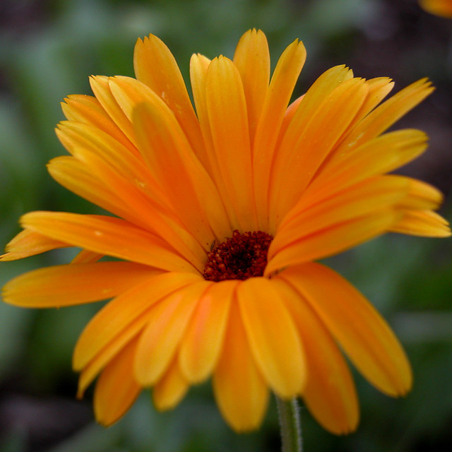 calendula officinalis flickr photo sharing. Black Bedroom Furniture Sets. Home Design Ideas