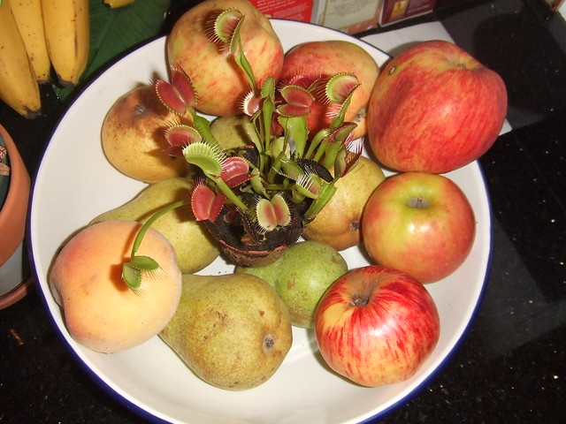 fruit fly trap healthy eating fruit