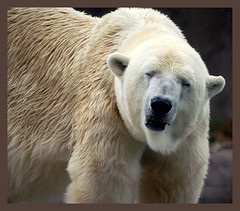 polar bear(0.0), grizzly bear(0.0), animal(1.0), polar bear(1.0), mammal(1.0), fauna(1.0), bear(1.0),