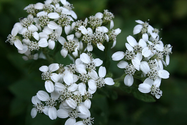 White crownbeard, Verbesina virginica