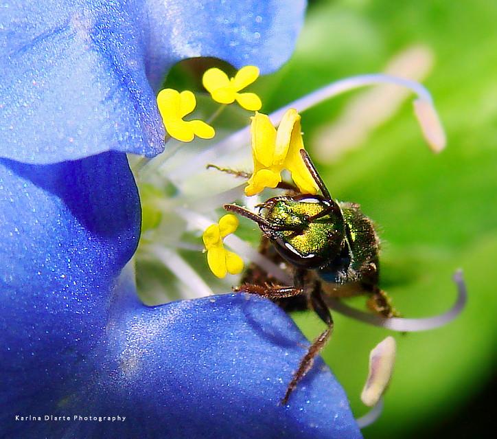 Abeja Metálica Verde - Green Metallic Bee