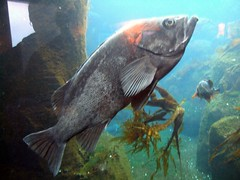 black bass fish