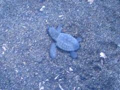 Parte il programma per la tutela delle tartarughe marine for Vasche per tartarughe marine
