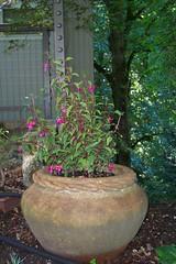 hearty fuchsia in a pot!