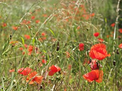 prairie, flower, leaf, grass, plant, wildflower, flora, produce, natural environment, coquelicot, meadow, poppy,