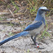 Florida Scrub-Jay - Photo (c) leppyone, some rights reserved (CC BY)