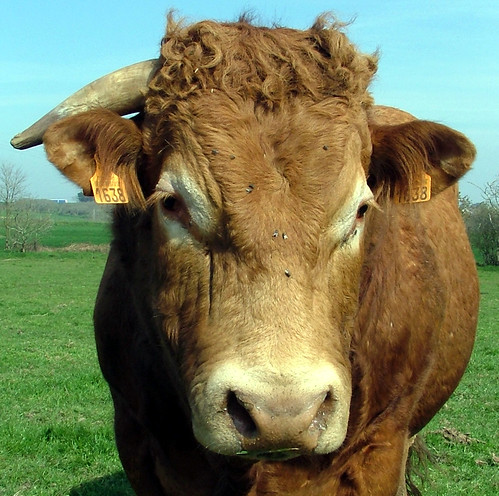 One Horned Cow - Porsporder, Brittany, France - 2007