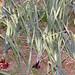 Small photo of Allium cepa